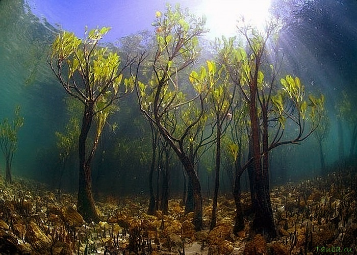 Деревья растущие в воде!