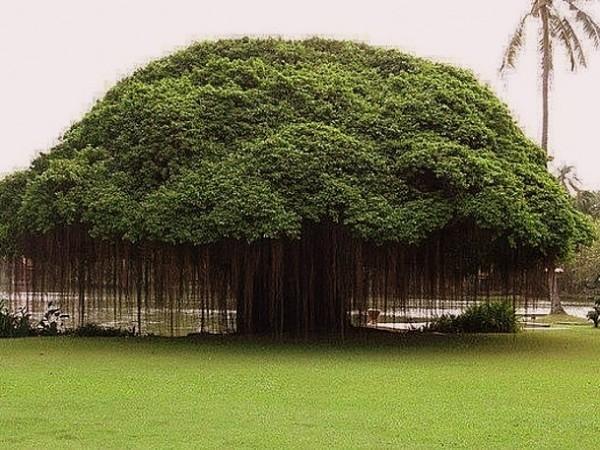дерево планеты