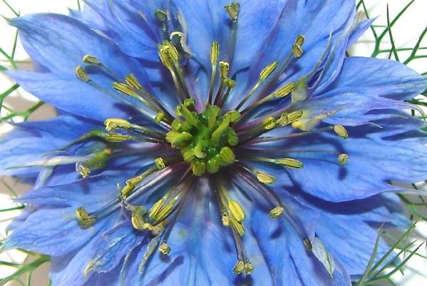Растение черный тмин: описание