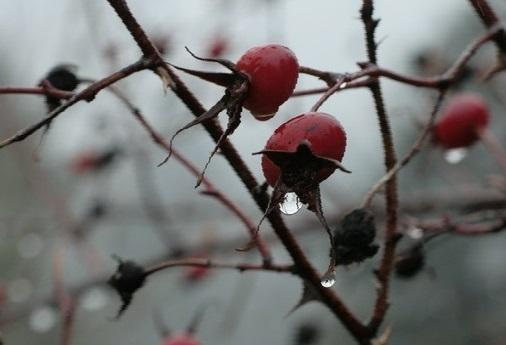 Шиповник - это растение семейства розоцветных