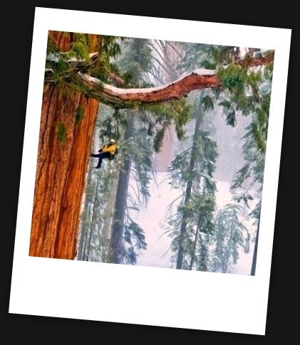 Гиперион - самое большое дерево в мире