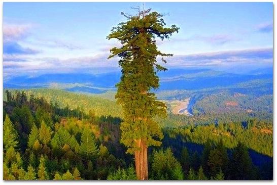 Самые высокие деревья Америки