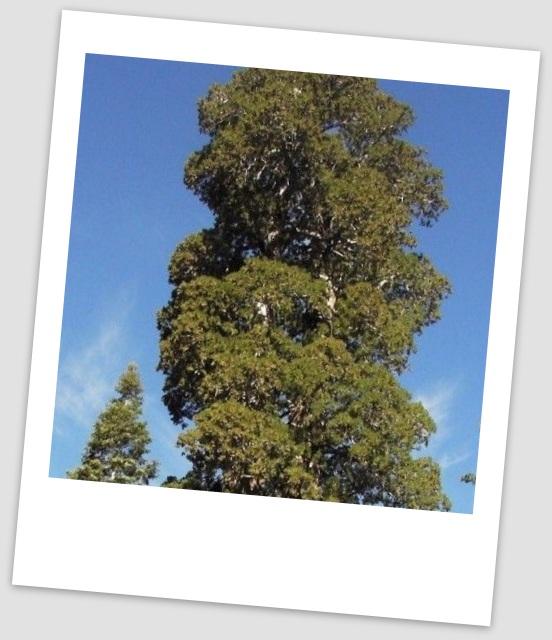Фото высокого дерева