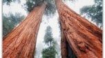Топ 10 самых высоких деревьев в мире созданных Творцом