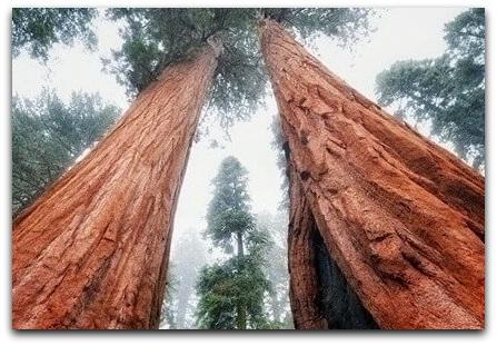Фото высокого дерева США